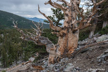 Great Basin NP,Nevada,Nevada landscape bristlecone pine