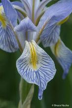 lasal mountains, wild iris