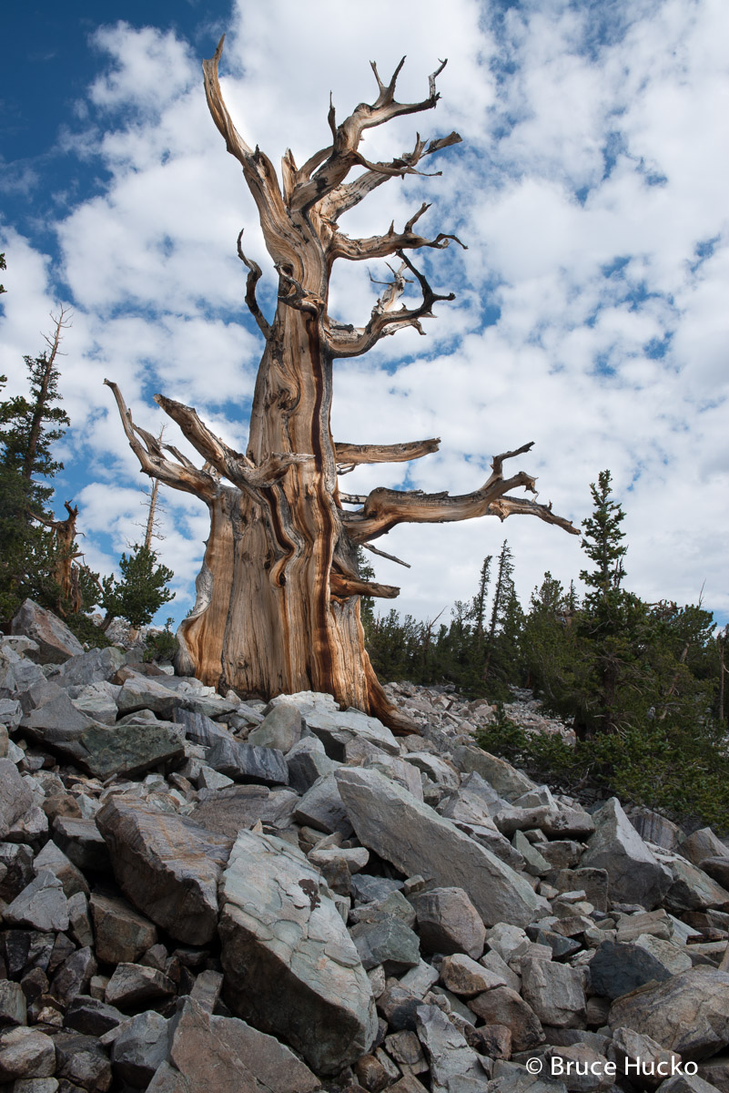 Great Basin NP,Nevada,Nevada landscape bristlecone pine, photo