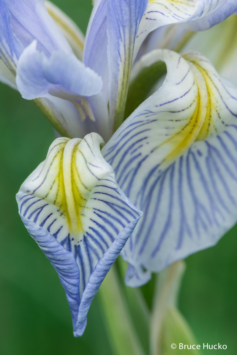 lasal mountains, wild iris, photo