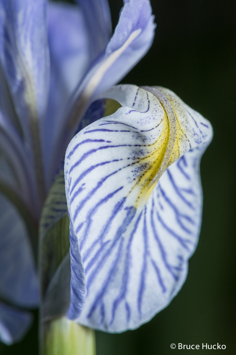 Warner Lake, lasal mountains, wild iris, photo